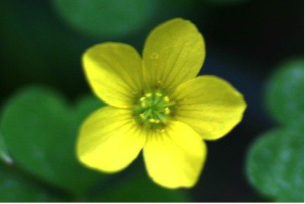 Yellow wood sorrel yellow wood sorrel flower mightylinksfo