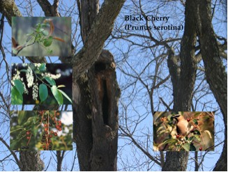 Rose family black cherry wild cherry rum cherry - Fruit trees every type weather area ...